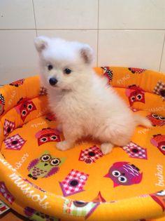 Spitz Tedesco Nano Maschio bianco Tre mesi Vaccinato Iscritto anagrafe canina