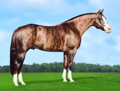 Dunbars Gold, a 1996 brindle Quarter Horse stallion  Genetic testing has shown the horse to be an extremely rare chimera, an individual with two DNA types.