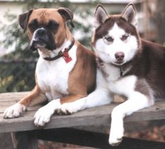 Boxer and Husky...so cute together. Can't wait to get these two puppies
