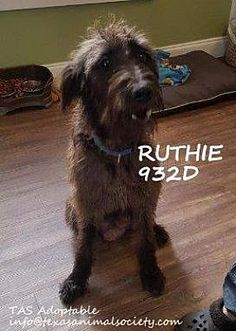 Spring, TX - Wirehaired Pointing Griffon. Meet Ruthie a Dog for Adoption.