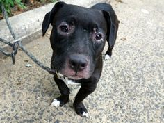 MURDERED 8/10/16 Manhattan Center My name is KNOX. My Animal ID # is A1084314. I am a male black and white pit bull and dachshund mix. The shelter thinks I am about 2 YEARS I came in the shelter as a OWNER SUR on 08/05/2016 from NY 10459, owner surrender reason stated was TOO HYPER.