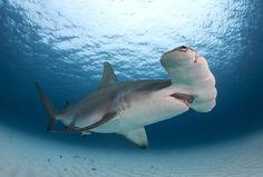 https://flic.kr/p/CMQ5iL   Great Hammerhead Shark   Great hammerhead passes over head in Bimini, the Bahamas.