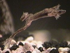 Extensive African Dwarf Frog Article - Revised