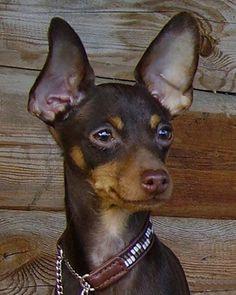 Kennel MILLGRET- Prague ratter (prazsky krysarik),Chihuahua,Zwergpinscher (miniature pinscher), Tallinn,Estonia
