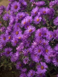 """New England Aster (Aster novae-angliae) 'Purple Dome.' Bluestone Perennials. 18"""" tall. Blooms late summer to late fall."""