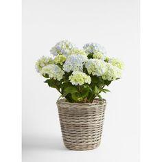 Hagehortensia Glass Vase, Garden, Plants, Home Decor, Homemade Home Decor, Garten, Flora, Plant, Lawn And Garden