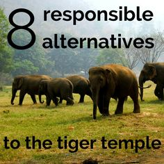 8 Responsible Alternatives To The Tiger Temple, Chiang Mai http://www.angloitalianfollowus.com/alternatives-tiger-temple