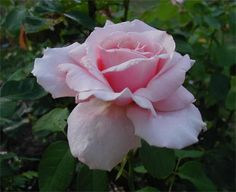 Frederic Mistral rose   Frederic Mistral Rose