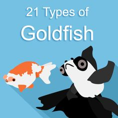 How'd you like to see my collection of incredible types of goldfish including… Goldfish Care, Goldfish Types, Goldfish Pond, Tropical Freshwater Fish, Tropical Fish, Colorful Fish, Freshwater Aquarium, Goldfish Centerpiece, Animals