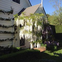 .@pigottsstore | How beautiful is this white Wisteria !!!!!! White Wisteria, White Gardens, How Beautiful, White Flowers, Landscape Design, Garden Ideas, House Styles, Home Decor, Decoration Home