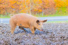 Duroc Schwein Animals, Meat, Animales, Animaux, Animal, Animais