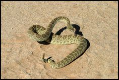 Snake Behavior - In The Desert - Mojave Green Rattlesnake Snake Venom, All About Animals, Monster Girl, Behavior, Deserts, Snakes, Girls, Green, Inspiration