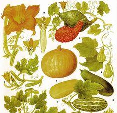 Pumpkin Summer Squash Marrow Hubbard Pattypan Food Chart Vegetable Flower Botanical Lithograph For Your Vintage Kitchen
