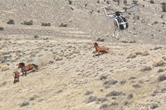 In the U.S., wild horses have been particularly hard hit by the meat industry's demand for more land on which to raise cattle.