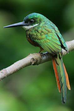 Rufous-tailed Jacamar (Galbula ruficauda) male by Rainbirder, via Flickr