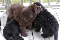 Kojac again with two of his siblings Big Dogs, I Love Dogs, Cute Puppies, Dogs And Puppies, Round Loom Knitting, Animals And Pets, Cute Animals, Newfoundland Puppies, Puppy Breath