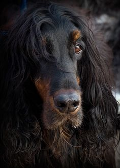 Gordon Setter... I had one, so handsome