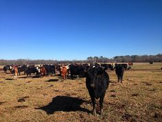 Cow, Cool Stuff, Animals, Cool Things, Animais, Animales, Animaux, Cattle, Animal