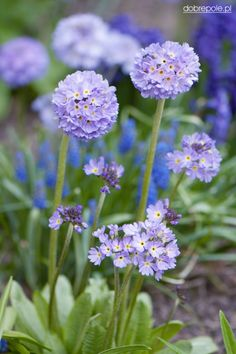 Primula denticulata 'Blue Selection' HOW INCREDIBLY BEAUTIFUL! (I have never seen these before!) - GORGEOUS! 🍀