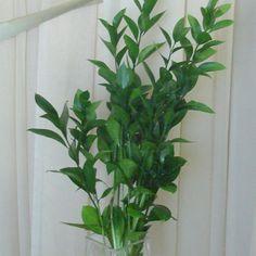 greenery ruscus -