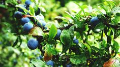 Need Some Landscaping Inspiration? Consider Berry Plants for Your Yard