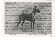 Great Dane Standard Great Dane Facts, Horses, Animals, Animales, Animaux, Animal, Animais, Horse