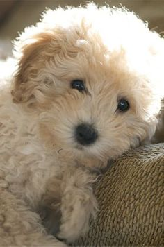 puppies bichon poodle......so sweet, looks like mine :)