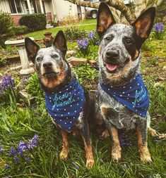 Baby Puppies, Dogs And Puppies, Dog Pictures, Animal Pictures, Animals Beautiful, Cute Animals, Austrailian Cattle Dog, Blue Heelers, Cattle Dogs