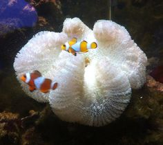 Fancy - Sea anemone with clownfish Sea Anemone, Clownfish, Sea Snail, Sea Slug, Sea Dragon, Underwater Life, Beautiful Ocean, Sea World, Sea Creatures