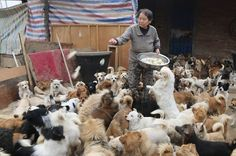 """""""5 Elderly Ladies Devote Their Lives To 1,300 Stray Dogs"""" (blog post) (via The Dodo) (26 February 2015) Five elderly women in China care for more than 1,300 stray dogs at a canine sanctuary."""
