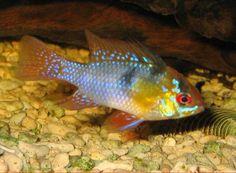 Afbeeldingsresultaat voor welke tropische vissen komen in india voor