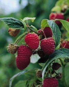 Nova Raspberry - Veseys