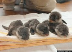 Baby Otters naptime.