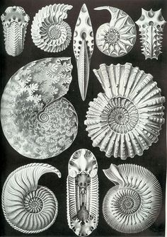 Ernst Haeckel - Ammonitida. Ammonshörner.