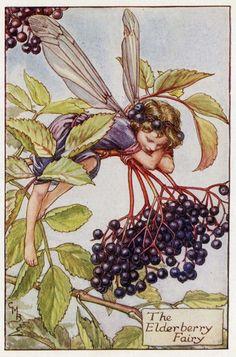 Elderberry Flower Fairy Vintage Print c.1927 by TheOldMapShop, $12.95