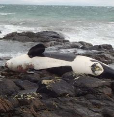 The body of the female orca, named Lulu, that has been washed ashore on Tiree, in the Inner Hebrides on January 03 2016. See Centre Press story CPORCA; A killer whale thought to belong to the UK's only native orca pod has been found dead on a beach, sparking fears for the survival of the species. The body of the female animal, named Lulu, was washed ashore on Tiree, in the Inner Hebrides, on January 3. It is not clear whether the 6.2-metre orca stranded before or after she died, but local…