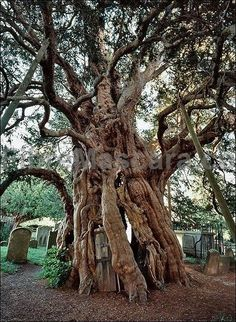Fortingall Yew - Perth, Scotland: This may be the oldest living thing in Europe. Experts estimate it to be at least 5,000 years old. Many believe it could be closer to 9,000 years old.