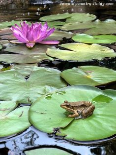 Frogs and Waterlilies in a Garden Pond pond Garden Pond Tour: My Favorite Outdoor Space - Town & Country Living Patio Pond, Pond Landscaping, Ponds Backyard, Garden Ponds, Florida Landscaping, Town And Country, Country Living, Greenhouse Shed, Garden Storage Shed