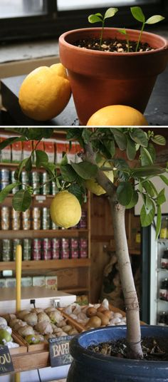 How to Grow Lemon Tree From Seed