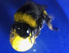 nice Gooooal! Bumblebees Learn to Play Soccer Check more at https://epeak.info/2017/02/23/gooooal-bumblebees-learn-to-play-soccer/