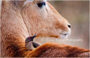 Juv. Yellow-billed Oxpecker, Dont you just love nature!! - Kotze Wildlife Photography #friendship