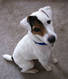 Russell Resue Ca - Jack Russell Terrier Rescue : Other