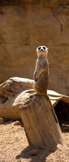 Meerkats (also called suricates) are the epitome of teamwork. A few will typically serve as lookouts, watching the skies for birds of prey while the remaining individuals guard the group and forage for food. A sharp, shrill call is the signal for the group to take cover.