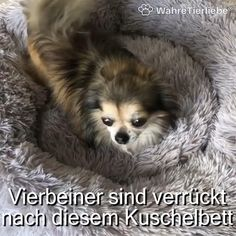 Animals And Pets, Funny Animals, Pet Dogs, Dog Cat, Dog Furniture, Funny Dachshund, Cute Little Animals, Funny Animal Videos, Dog Accessories