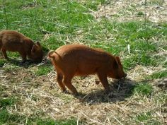 Growing my own bacon - Keeping pigs