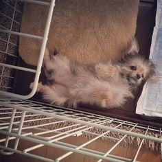 🐶 この体勢のまま寝たww #仰向け#ねんね#可愛い#ワンちゃん#ピズ #子犬#愛犬#3ヶ月#dog#犬#わんこ#ヨーキー #ヨーチワ#ヨークシャ#チワワ#mix犬#室内犬 #ペット#ミックス犬#溺愛#溺愛犬#メロメロ #mydog#pretty#cute#love
