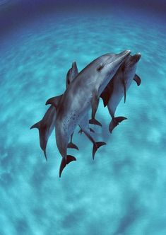Superb Nature, thelovelyseas: Atlantic Spotted Dolphin (Stenella...