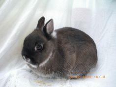 Netherland dwarf rabbit....love thoselittle cobby bodies and tiny ears.