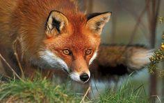 British red fox, © Charles L. Joseph