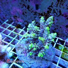 Acropora Batunai green with blue Tips M Green With Blue, Blue Tips, Coral